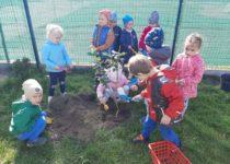 Więcej o: Sadzenie drzewek w przedszkolu